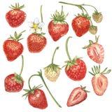 Sistema de la fresa roja de la baya aislada en el fondo blanco Ejemplo dibujado mano de la pintura de la acuarela de bayas ilustración del vector