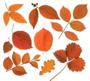 Sistema de la hoja aislada del otoño Imagen de archivo