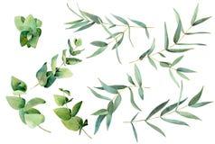 Sistema de la hoja del eucalipto fotografía de archivo