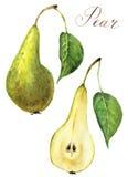 Sistema de la pera de la acuarela Ejemplo verde dulce de la comida de la fruta aislado en el fondo blanco Para el diseño, las imp Fotografía de archivo libre de regalías
