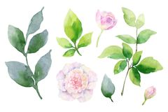 Sistema de la pintura de la mano del vector de la acuarela de flores de la peonía y de hojas del verde Foto de archivo libre de regalías