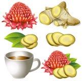 Sistema de la raíz del jengibre con la flor y la taza de té ilustración del vector