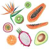 Sistema de las frutas tropicales de la acuarela Ejemplos pintados a mano: aguacate, papaya, naranja, kiwi, maracuja y strelitzia  stock de ilustración