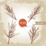 Sistema de las ramas de Rosemary Ilustraciones exhaustas del estilo del bosquejo de la mano Ejemplo del esquema de la hierba y de stock de ilustración
