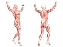 Sistema de músculo skinless saudável do corpo humano da anatomia ilustração royalty free