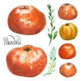 Sistema de mandarines dibujados mano de la acuarela Fotos de archivo