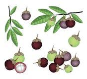 Sistema de mangostanes púrpuras y verdes frescos Imagen de archivo libre de regalías