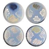 Sistema de morfología de las bacterias de la colonia de la variedad (actinomycetes) en agar fotos de archivo libres de regalías