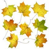 Sistema de muchas hojas de arce coloridas de la caída del otoño, aislado en el fondo blanco Fotografía de archivo