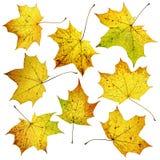 Sistema de muchas hojas de arce coloridas de la caída del otoño, aislado en el fondo blanco Foto de archivo
