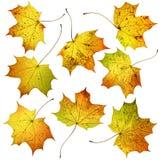 Sistema de muchas hojas de arce coloridas de la caída del otoño, aislado en el fondo blanco Fotos de archivo libres de regalías