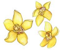 Sistema de orquídeas amarillas de la acuarela con un movimiento aislado encendido Fotos de archivo