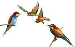 Sistema de pájaros coloreados en diversas actitudes aislados Imagen de archivo libre de regalías