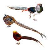 Sistema de pájaros del faisán Aislado sobre blanco imágenes de archivo libres de regalías