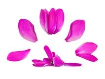 Sistema de pétalos delicados de la flor aislados en el fondo blanco Imágenes de archivo libres de regalías