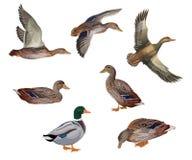 Sistema de patos libre illustration