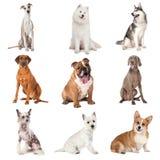 Sistema de perros comunes imágenes de archivo libres de regalías