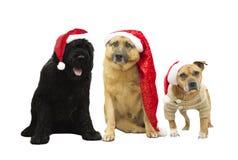 Sistema de perros en el sombrero del Año Nuevo Imágenes de archivo libres de regalías