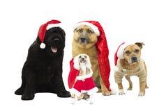 Sistema de perros en el sombrero del Año Nuevo Fotografía de archivo libre de regalías