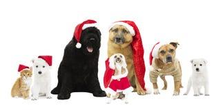 Sistema de perros en el sombrero del Año Nuevo Imagen de archivo