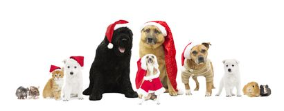 Sistema de perros en el sombrero del Año Nuevo Imagen de archivo libre de regalías