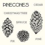 Sistema de Pinecones Cedro, árbol de navidad, abeto, pino, ejemplo a mano Imagen de archivo libre de regalías