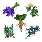 Sistema de plantas nocivas aisladas en el fondo blanco Ingredientes para las pociones mágicas Tejo o baccata común de la taxus Imagenes de archivo