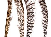 Sistema de plumas hermosas y coloridas del faisán Imagen de archivo libre de regalías