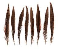 Sistema de plumas de pájaro frágiles hermosas del faisán aisladas Imagen de archivo