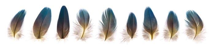 Sistema de plumas de pájaro frágiles hermosas del loro aisladas Imagen de archivo libre de regalías