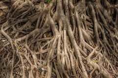 Sistema de raiz grande da árvore imagens de stock royalty free