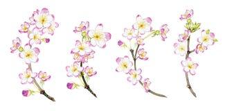 Sistema de ramas florecientes dibujadas mano de la acuarela Imagen de archivo