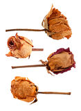 Sistema de rosas secadas Imagenes de archivo