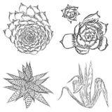 Sistema de succulents, ramo del cactus, dibujos de Echeveria, botánicos Imagen de archivo libre de regalías