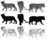Sistema de tigres que caminan stock de ilustración