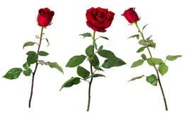 Sistema de tres rosas rojas vivas hermosas en troncos largos con las hojas del verde aisladas en el fondo blanco imagen de archivo