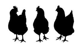 Sistema de tres siluetas negras de las gallinas y de los pollos que picotean la colocación y caminar en el fondo blanco Imágenes de archivo libres de regalías