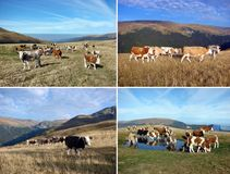 Sistema de vacas de la manada Foto de archivo