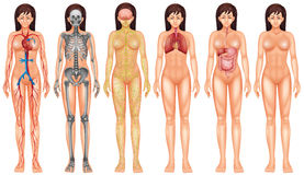 Sistema del corpo royalty illustrazione gratis
