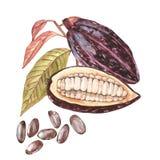 Sistema del ejemplo botánico Colección de la fruta del cacao de la acuarela aislada en el fondo blanco Cacao exótico dibujado man ilustración del vector