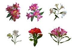 Sistema del lirio aislado de las flores fotos de archivo libres de regalías