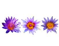 Sistema del loto y de la abeja púrpuras en la charca en el aislante blanco Fotografía de archivo
