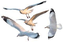 Sistema del pájaro de las gaviotas del blanco tres aislado Imagen de archivo libre de regalías