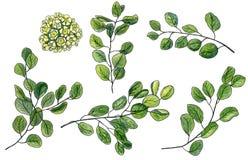 Sistema del pedazo de waxflower de la acuarela y hojas verdes del eucalipto Foto de archivo