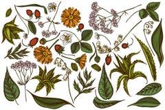 Sistema del vector de áloe coloreado exhausto de la mano, calendula, lirio de los valles, ortiga, fresa, valeriana libre illustration