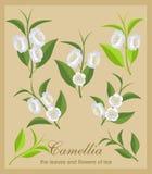 Sistema del vector de flores y de hojas de té Imagen de archivo libre de regalías