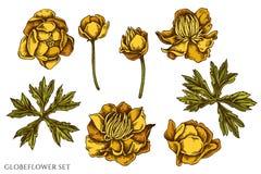 Sistema del vector de globeflower coloreado exhausto de la mano stock de ilustración