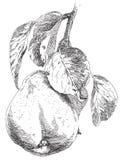 Sistema del vector de la pera dibujada mano Imágenes de archivo libres de regalías
