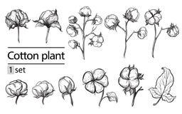 Sistema del vector de la planta de algodón de la tinta del drenaje de la mano Imagen de archivo libre de regalías