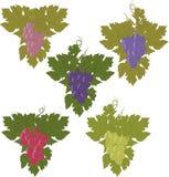 Sistema del vector de manojos de uvas Imágenes de archivo libres de regalías